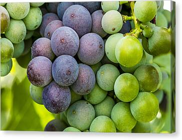 Wine Grapes Close Up Canvas Print by Teri Virbickis