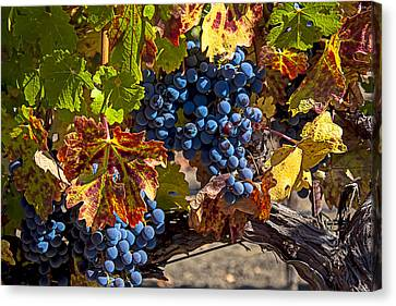 Wine Grapes Napa Valley Canvas Print