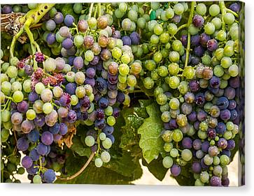 Wine Grapes On The Vine Canvas Print by Teri Virbickis
