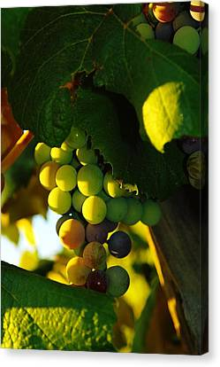 Vintner Canvas Print - Wine Grapes Shaded By Leaves by Jeff Swan