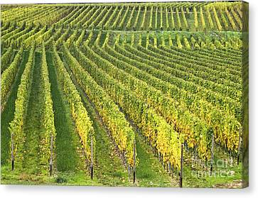 Wine Growing Canvas Print by Heiko Koehrer-Wagner