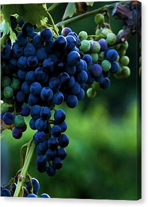 Wine On A Vine Canvas Print