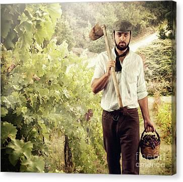 Winegrower While Harvest Grapes Canvas Print by Antonio Gravante