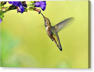 Winged Beauty A Hummingbird Canvas Print by Laura Mountainspring