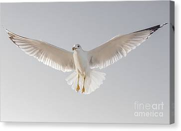 Canvas Print featuring the photograph Winged Messenger by Chris Scroggins