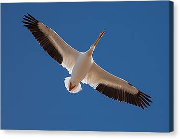 Canvas Print featuring the photograph Wings Are Spread by Monte Stevens