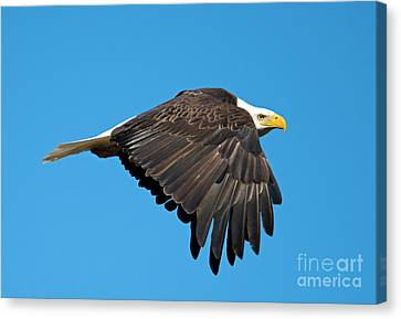 Wings Down Canvas Print