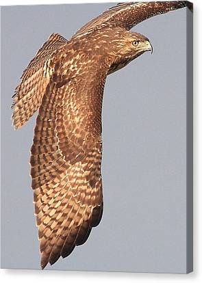 Wings Of A Red Tailed Hawk Canvas Print by Wingsdomain Art and Photography
