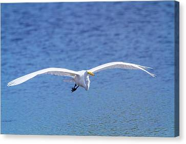 Beauty Mark Canvas Print - Wings Of The Great White by Mark Andrew Thomas