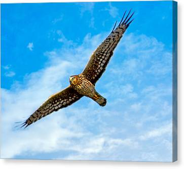 Wings Of The Northern Harrier Canvas Print by Mark Andrew Thomas