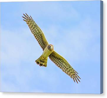 Wings Of The Raptor Canvas Print by Mark Andrew Thomas
