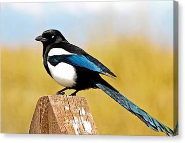 Black-billed Magpie Canvas Print - Winking Magpie by Mitch Shindelbower