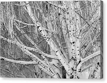 Icy Winter Birch Tree  Canvas Print by Carol Groenen