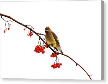 Winter Birds - Waxwing  Canvas Print