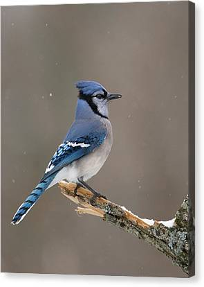 Winter Blue Jay Canvas Print by Timothy McIntyre