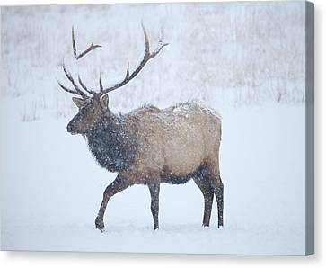 Winter Bull Canvas Print by Mike  Dawson