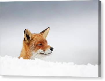 Winter Came - Red Fox In The Snow Canvas Print by Roeselien Raimond