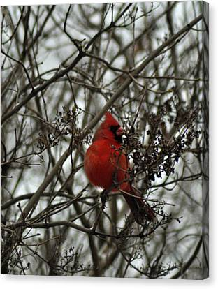 Winter Cardinal 1 Canvas Print