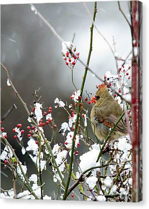 Winter Cardinal Canvas Print by Gary Wightman