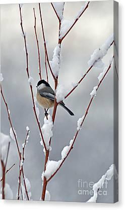 Winter Chickadee Canvas Print