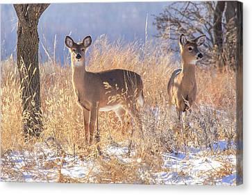 Winter Deer Canvas Print by Jill Van Doren Rolo