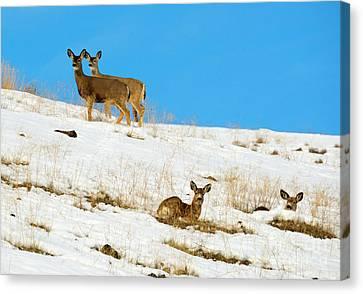 Mule Deer Canvas Print - Winter Deer by Mike Dawson