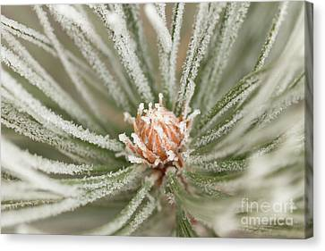 Canvas Print featuring the photograph Winter Evergreen by Ana V Ramirez