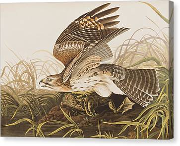 Winter Hawk Canvas Print by John James Audubon