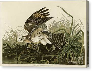Winter Hawk Canvas Print