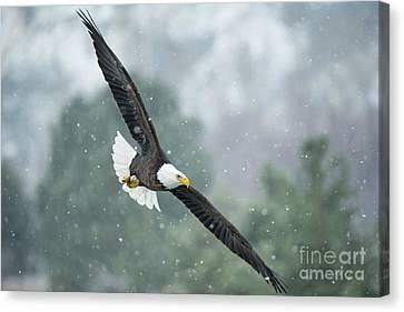 Winter Hunter Canvas Print by Mike Dawson