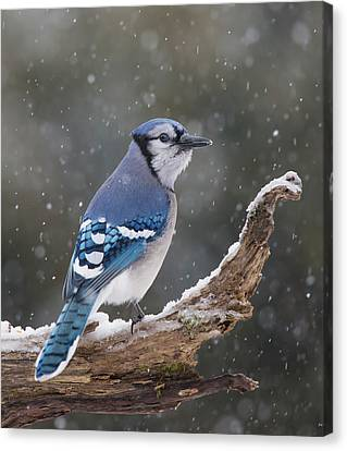 Canvas Print featuring the photograph Winter Jay by Mircea Costina Photography