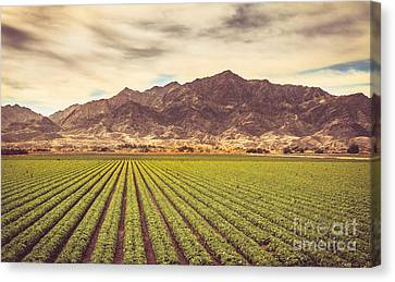 Romaine Canvas Print - Winter Lettuce by Robert Bales