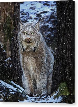 Tracy Munson Canvas Print - Winter Lynx by Tracy Munson