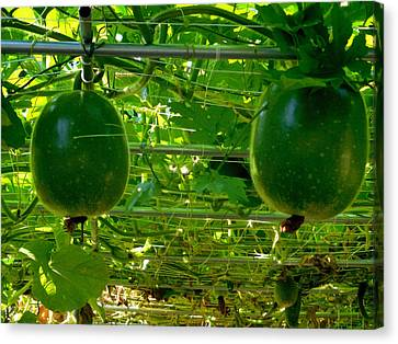 Winter Melon On Its Tree 1 Canvas Print by Lanjee Chee
