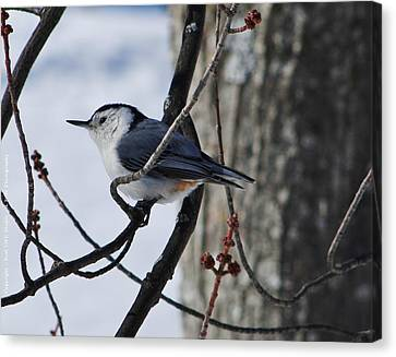Canvas Print featuring the photograph Winter Nut Hatch by Al Fritz