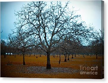Sonoma Valley Canvas Print - Winter Orchard by Derek Selander
