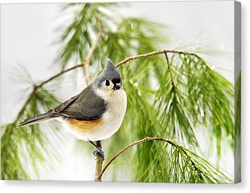 Winter Pine Bird Canvas Print by Christina Rollo