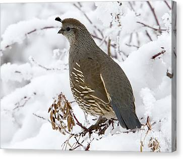 Winter Quail Canvas Print
