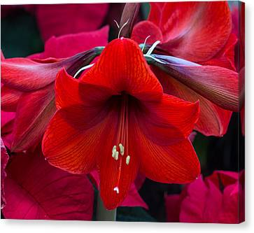 Canvas Print featuring the photograph Winter Red by Robert Pilkington