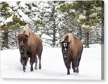 Winter Roaming Bison Canvas Print