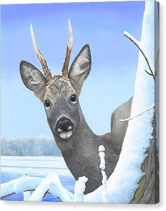 Winter Roebuck Canvas Print by Clive Meredith