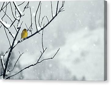 Winter Snow With A Touch Of Goldfinch For Color Canvas Print