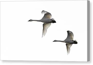 Winter Swans Canvas Print by David Wynia