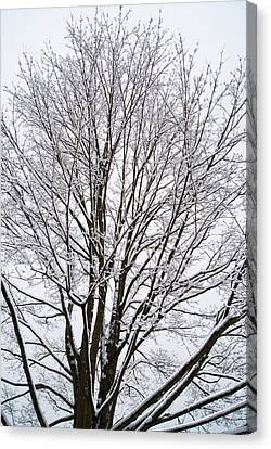 Winter Tree    Poster Canvas Print
