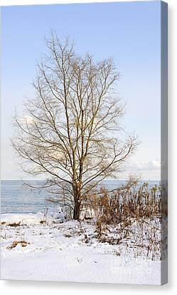 Winter Tree On Shore Canvas Print by Elena Elisseeva