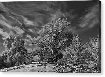 Winter Trees Canvas Print by Mark Denham