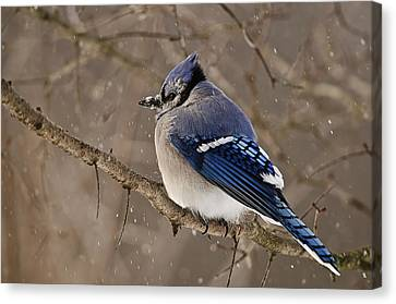 Winter Visitor Canvas Print by Michael Cummings