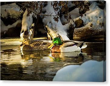 Winter Visitors - Mallard Ducks Canvas Print
