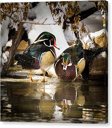 Winter Visitors - Wood Ducks Canvas Print