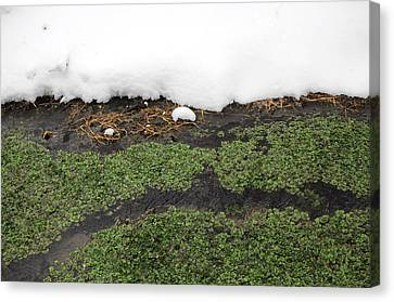 Winter Watercress Canvas Print by Indigo Schneider